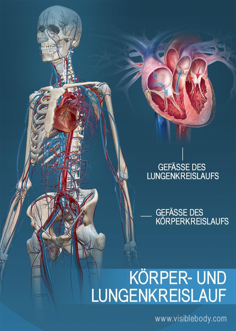 Blutgefäße des Körperkreislaufs und des Lungenkreislaufs