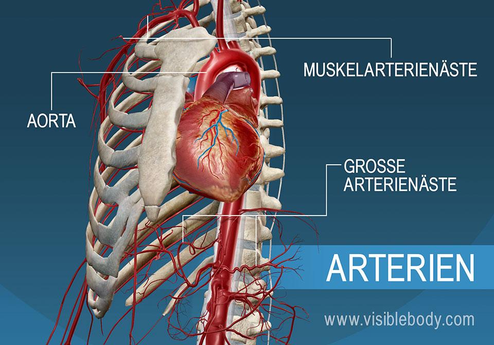 Die Hauptarterien und ihre Verästelungen im Körper