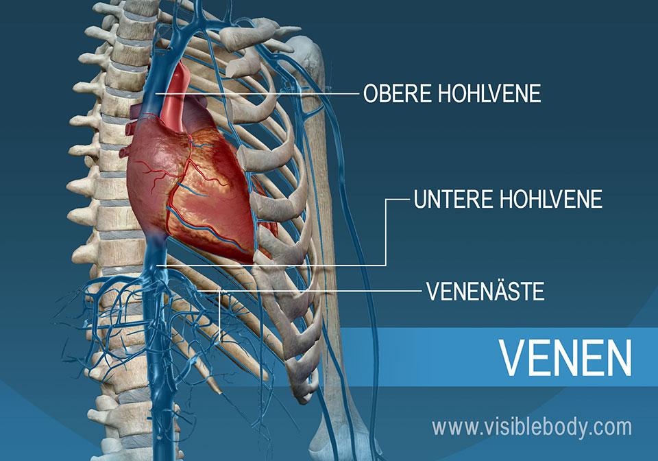 Obere und untere Hohlvene (Vena cava superior bzw. inferior)