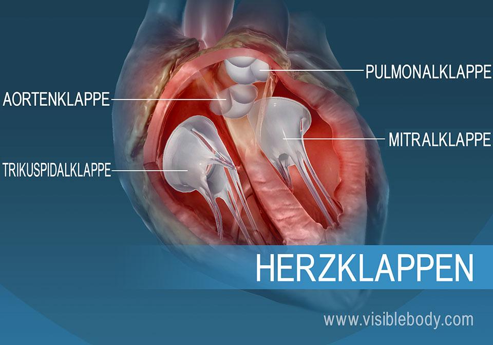 Die 4 Klappen des menschlichen Herzes
