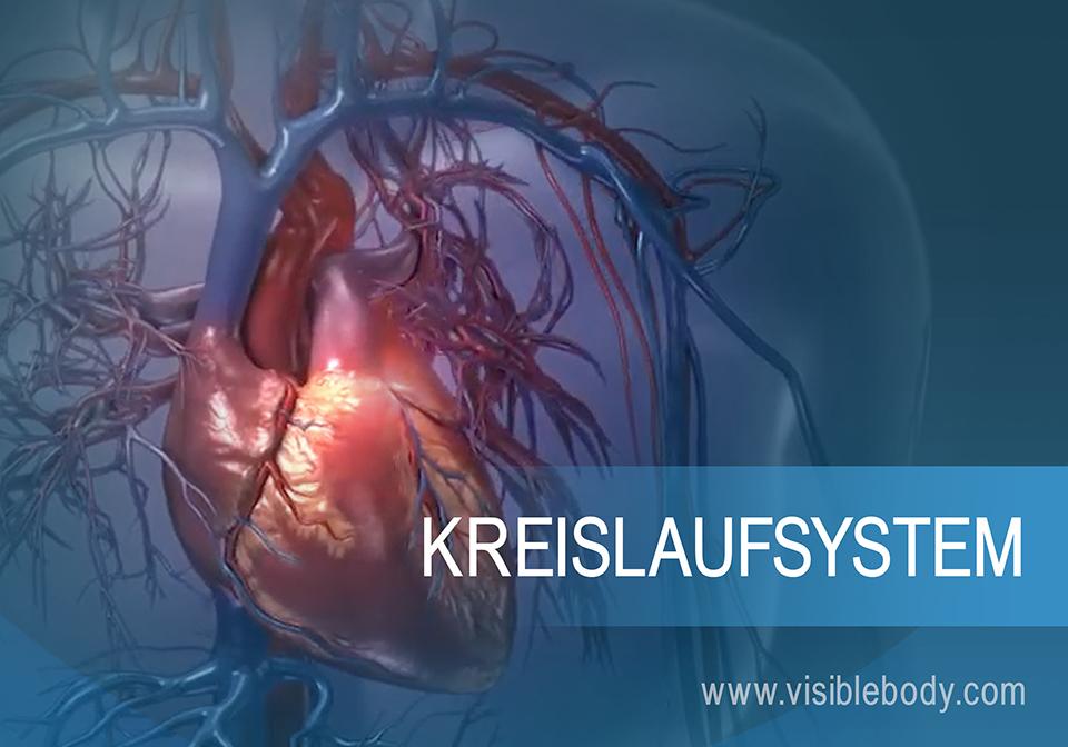 Das Herz im Körper- und Lungenkreislauf
