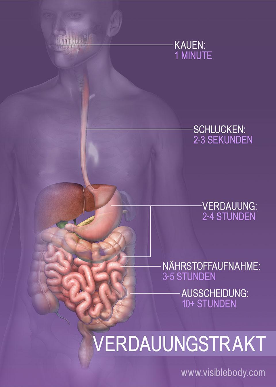 Zeitliche Dauer verschiedener Verdauungsprozesse