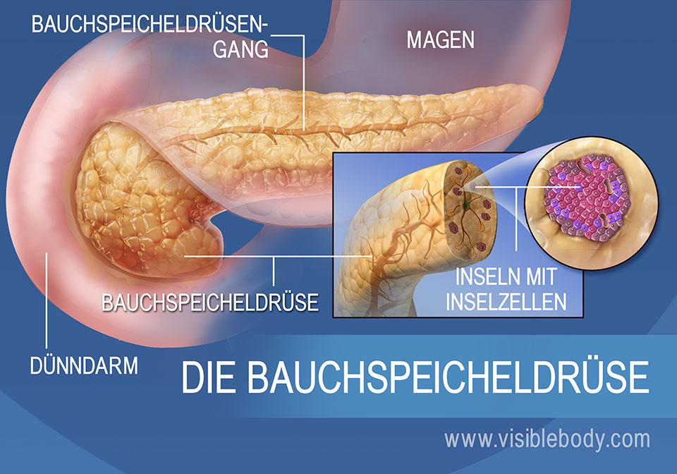 Diese Darstellung der Bauchspeicheldrüse zeigt den Ausführungsgang der Drüse, die Inselzellen des Pankreas, den Magen und den Dünndarm