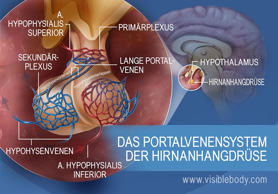 Eine Darstellung des hypohysären Pfortadersystems in der Hirnanhangdrüse einschließlich der Hypophysenvenen und der A. hypophysialis superior et inferior.