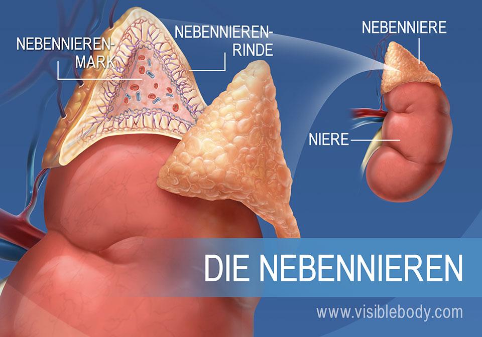 Diese Darstellung zeigt die Nebenniere mit ihrer Rinde und dem Mark sowie die Niere selbst
