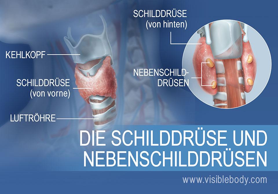 Vorder- und Rückansicht der Schilddrüse mit Nebenschilddrüsen, Kehlkopf und Luftröhre