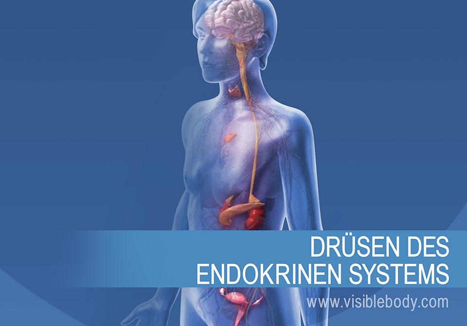 Die endokrinen Drüsen und ihre Funktionsweise