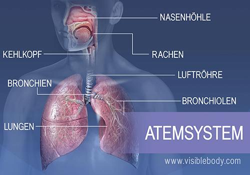 Zu den Hauptstrukturen des Atemsystems gehören Nasenhöhle, Rachen, Kehlkopf, Luftröhre, Bronchien, Lungen und Bronchiolen