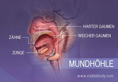 Profilansicht der Mundhöhle mit Zähnen, Zunge, hartem und weichem Gaumen