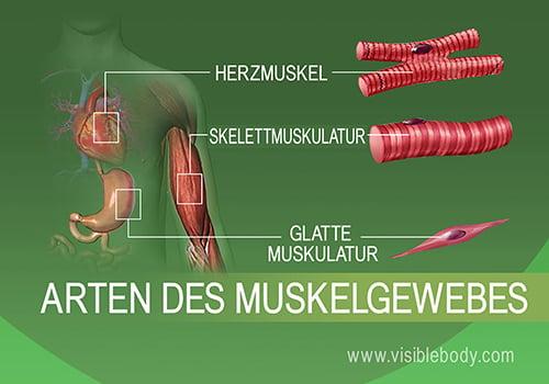 Glatte, Skelett- und Herzmuskulatur des menschlichen Körpers