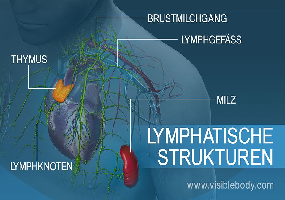 02B-Lymphatische-Strukturen