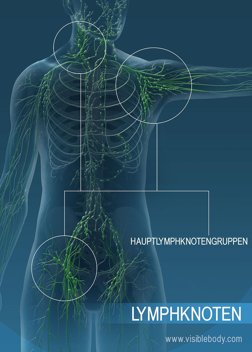 Lymphknoten können dazu beitragen, unerwünschte Stoffe aus der Lymphe zu filtern.