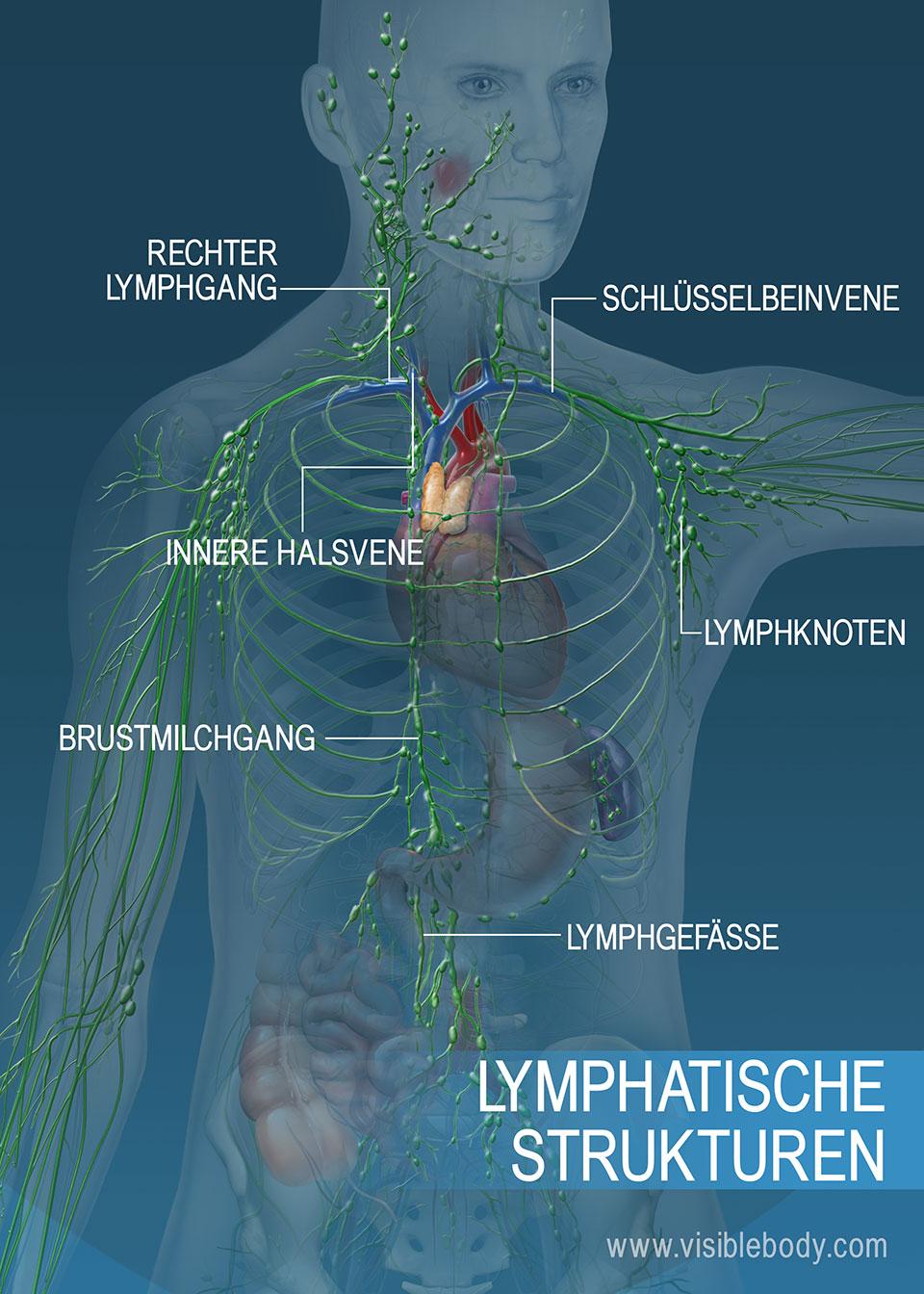 Das lymphatische Gefäßnetz im Rumpf- und Armbereich. Zu den Hauptstrukturen zählen: Brustmilchgang, rechter Lymphgang und Lymphgefäße.