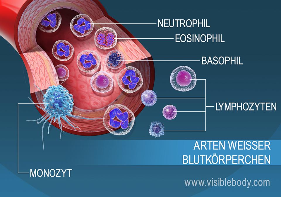 Die unterschiedlichen Arten von weißen Blutkörperchen im Blutstrom