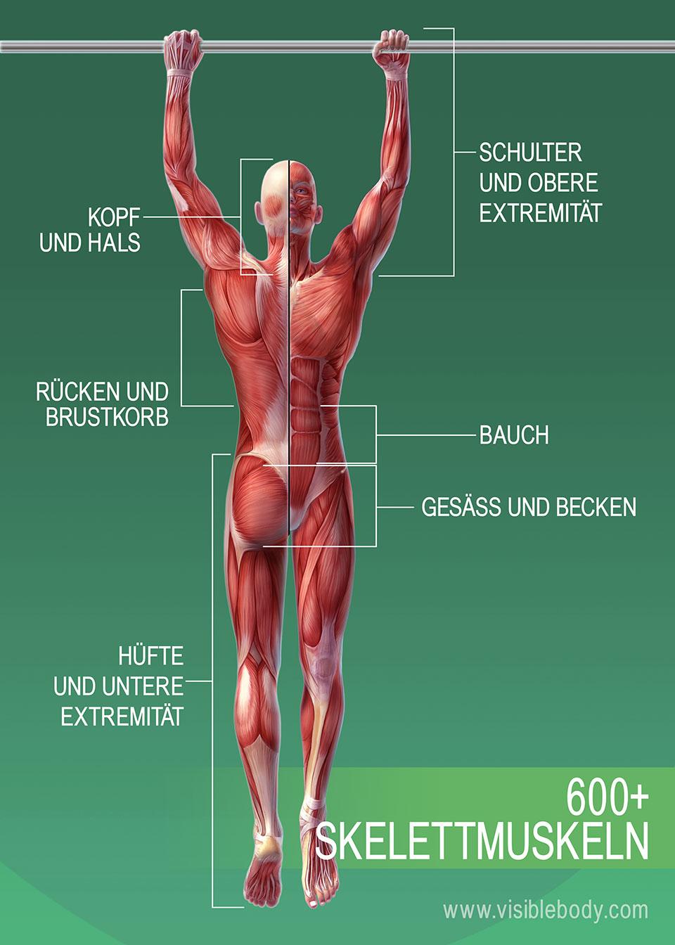 3B-600+-Skelett-Muskeln