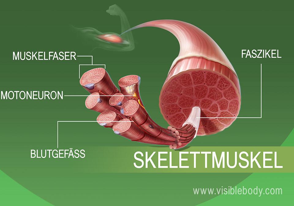Großansicht des Skelettmuskelgewebes