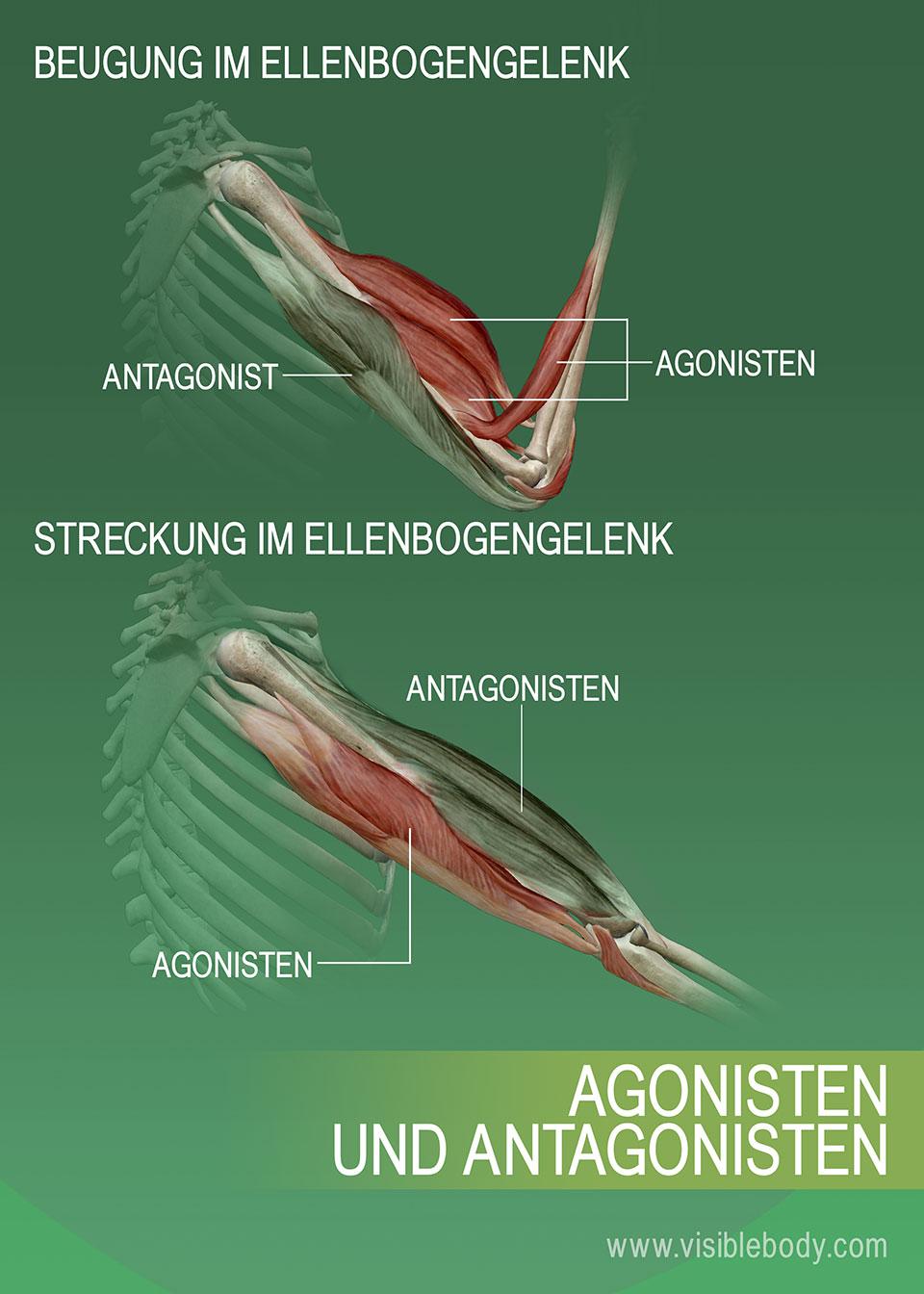 Muskuläre Agonisten, Antagonisten und Synergisten