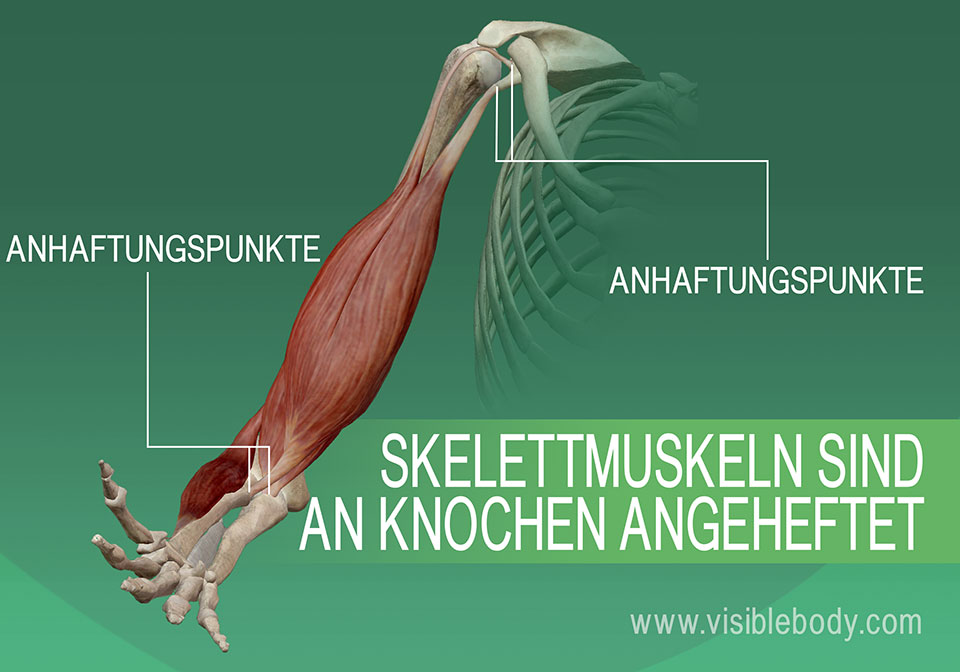 5B-Anheftung-der-Skelettmuskulatur-an-den-Knochen