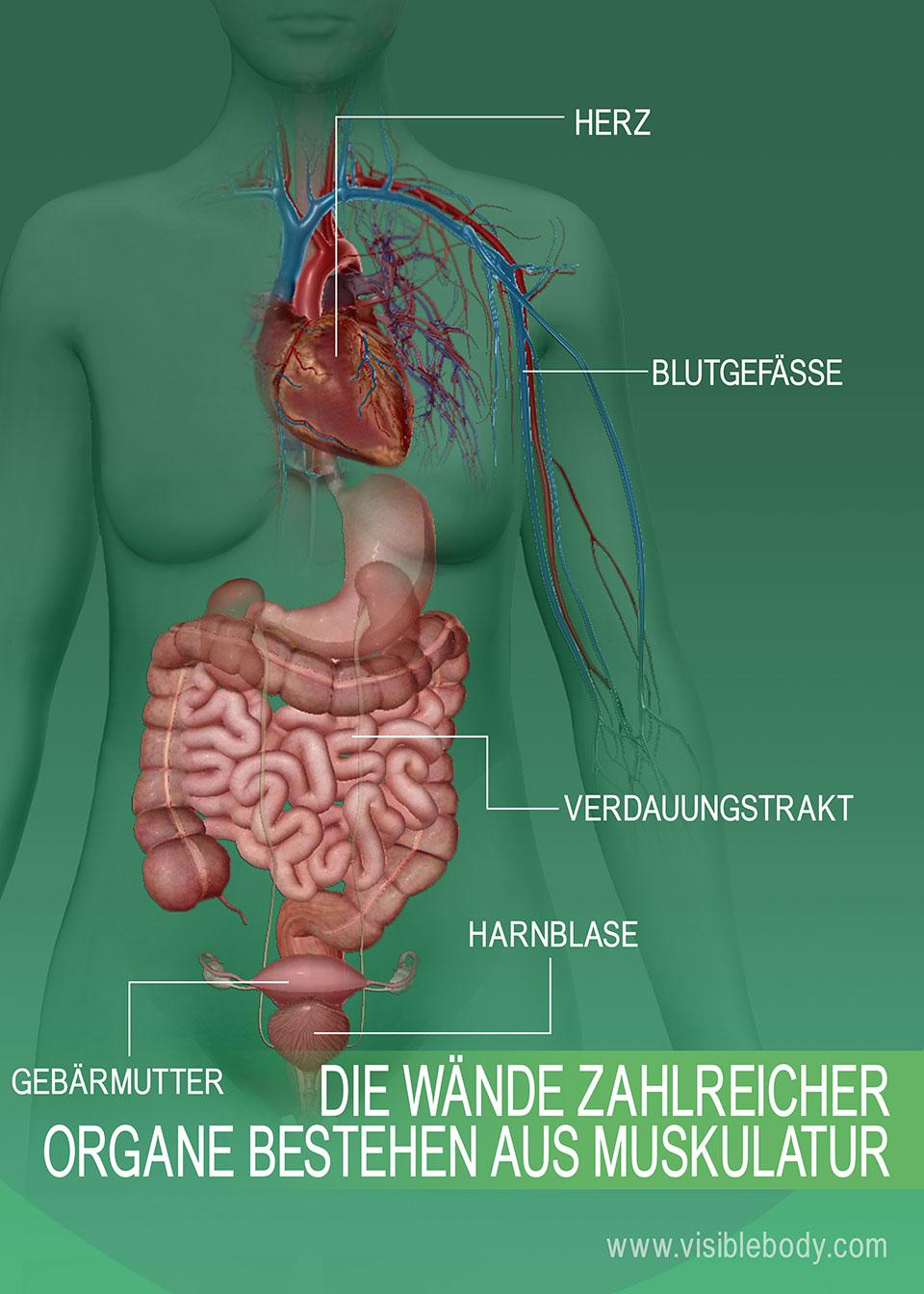 6C-Wände-vieler-Organe-sind-aus-Muskeln-aufgebaut