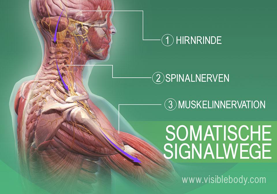 Somatische Wege der Muskelinnervation