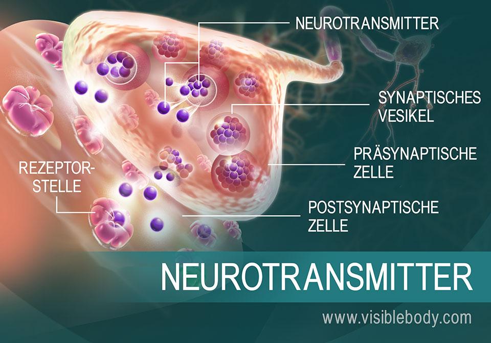 Die Bewegung der Neurotransmitter zwischen Synapsen in der Übersicht