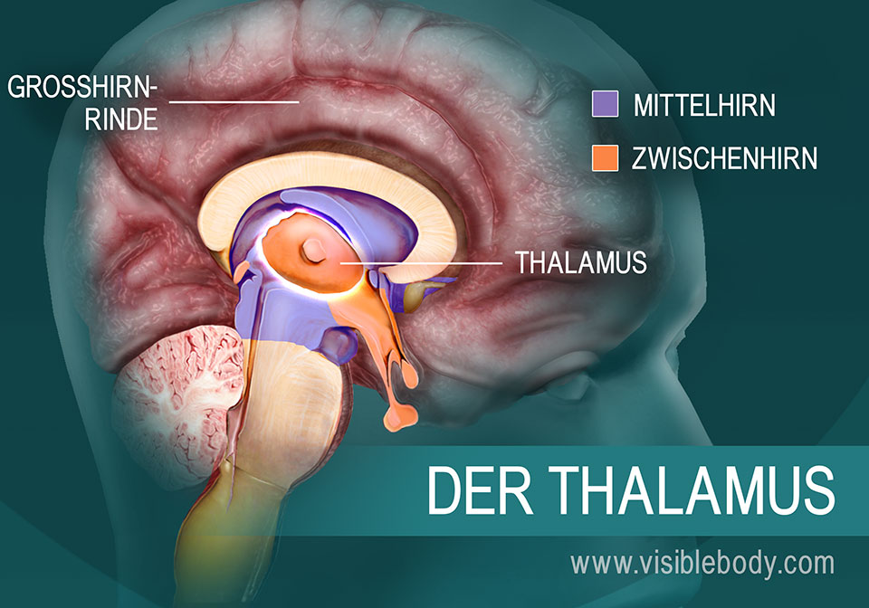 Der Thalamus und seine Lage im Gehirn