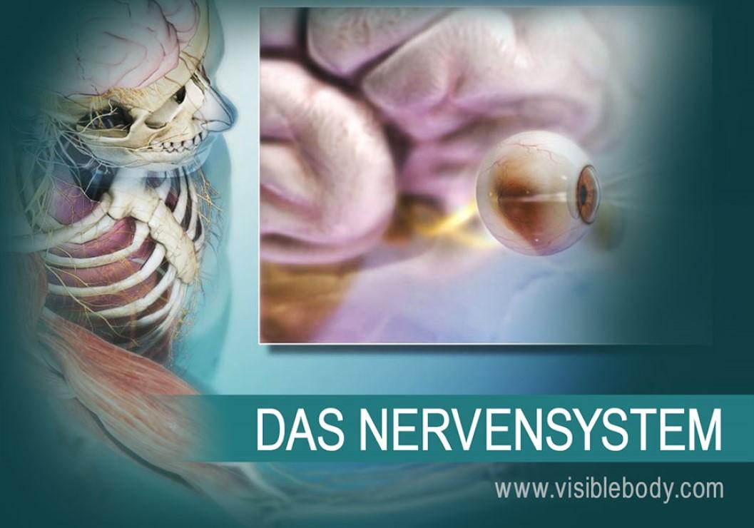 Das zentrale Nervensystem (ZNS) besteht aus dem Gehirn und dem Rückenmark. Hirnnerven, Spinalnerven und sensorische Organe bilden zusammen das periphere Nervensystem (PNS).