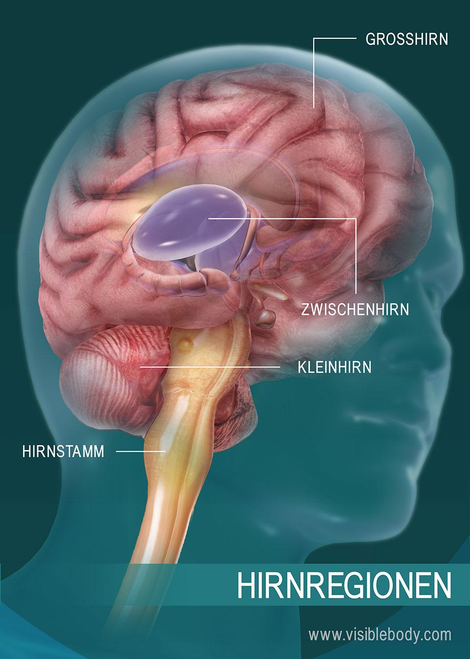 Eine Darstellung der Gehirnregionen
