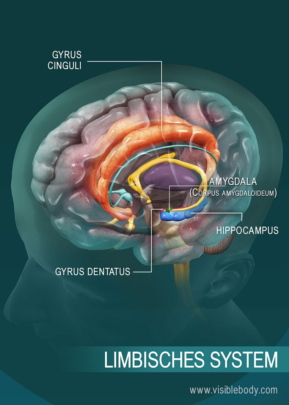 Übersicht über das limbische System
