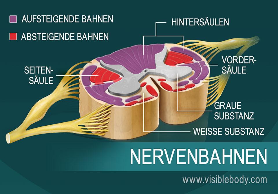 Eine Darstellung der Nervenbahnen des Rückenmarks