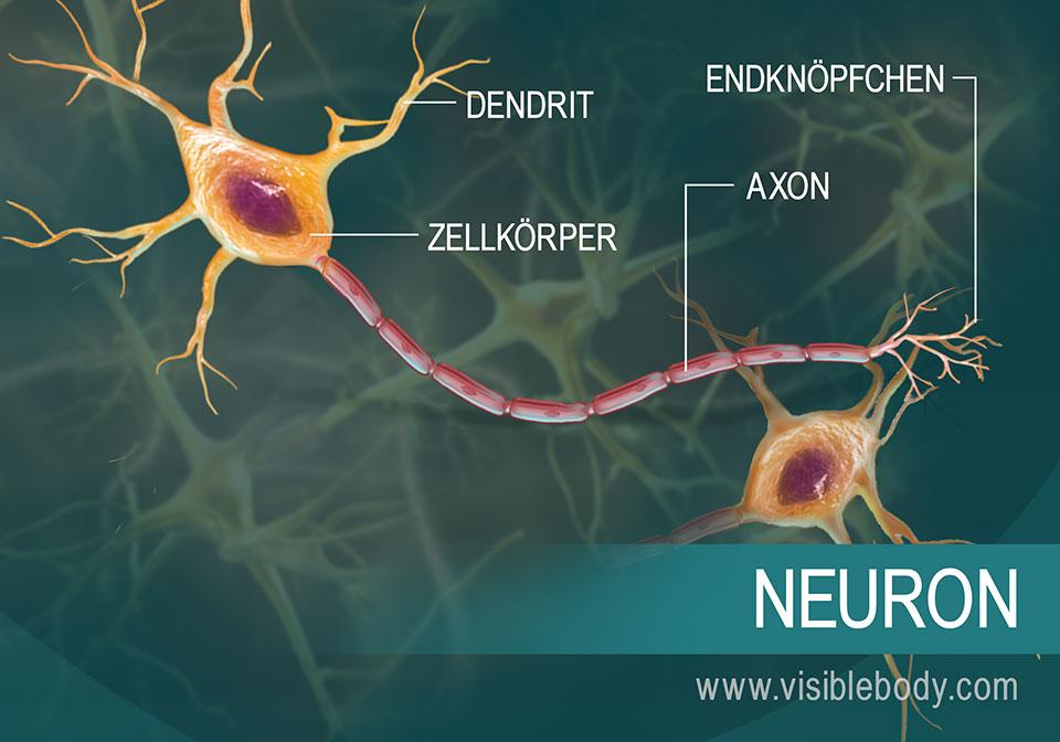 Darstellung eines Neurons und seiner Teile