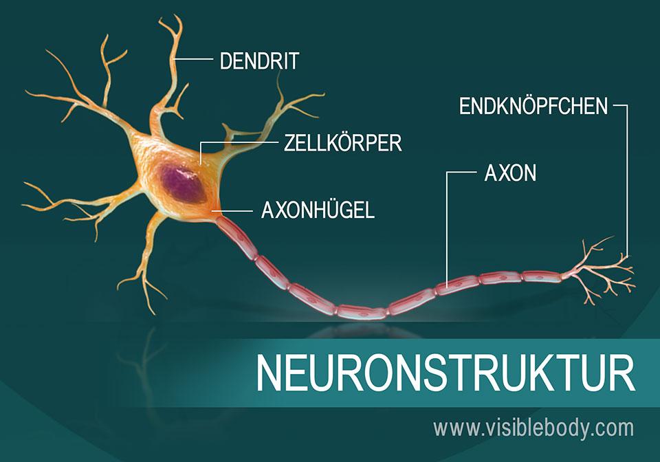 Eine Darstellung des Neuronaufbaus