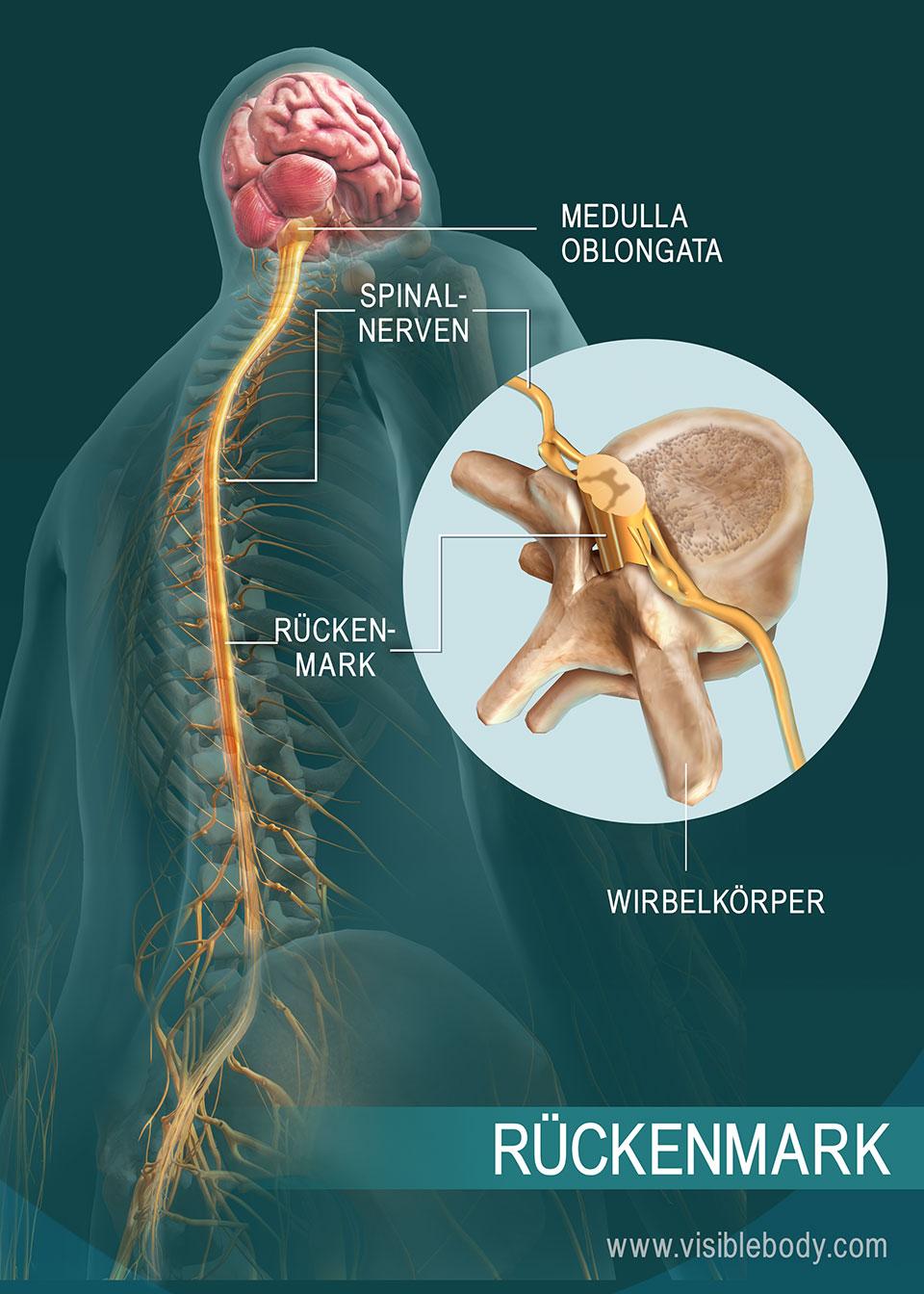 Der Aufbau des Rückenmarks