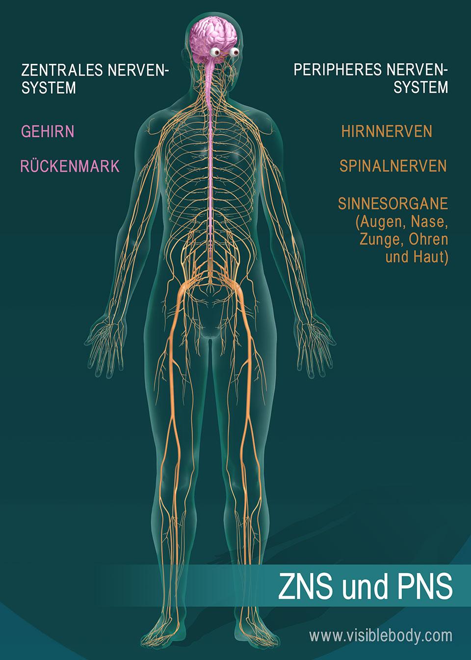 Gehirn und Rückenmark bilden zusammen das zentrale Nervensystem (ZNS). Hirnnerven, Spinalnerven und sensorische Organe bilden zusammen das periphere Nervensystem (PNS).
