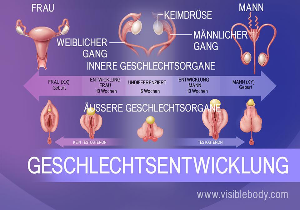 Genitale Differenzierung des Fötus