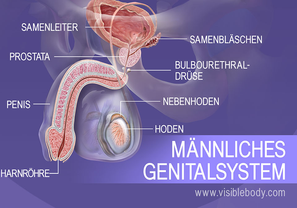 Strukturen des männlichen Genitalsystems