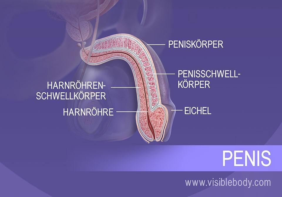 Ein Querschnitt durch den Penis und die Strukturen von Körper und Kopf.