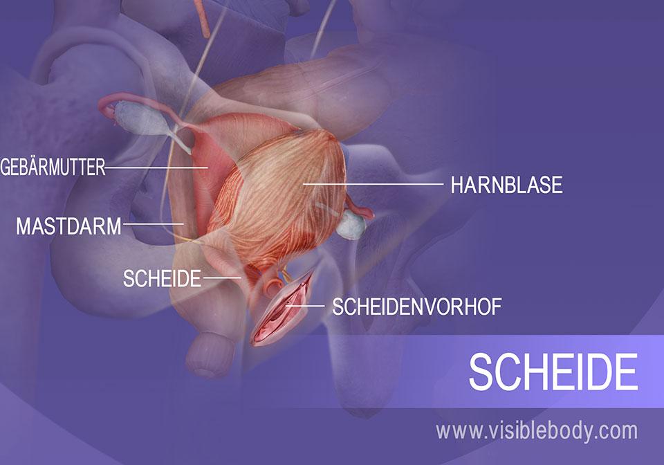 Der innere Abschnitt des weiblichen Genitalsystems und der Harnblase