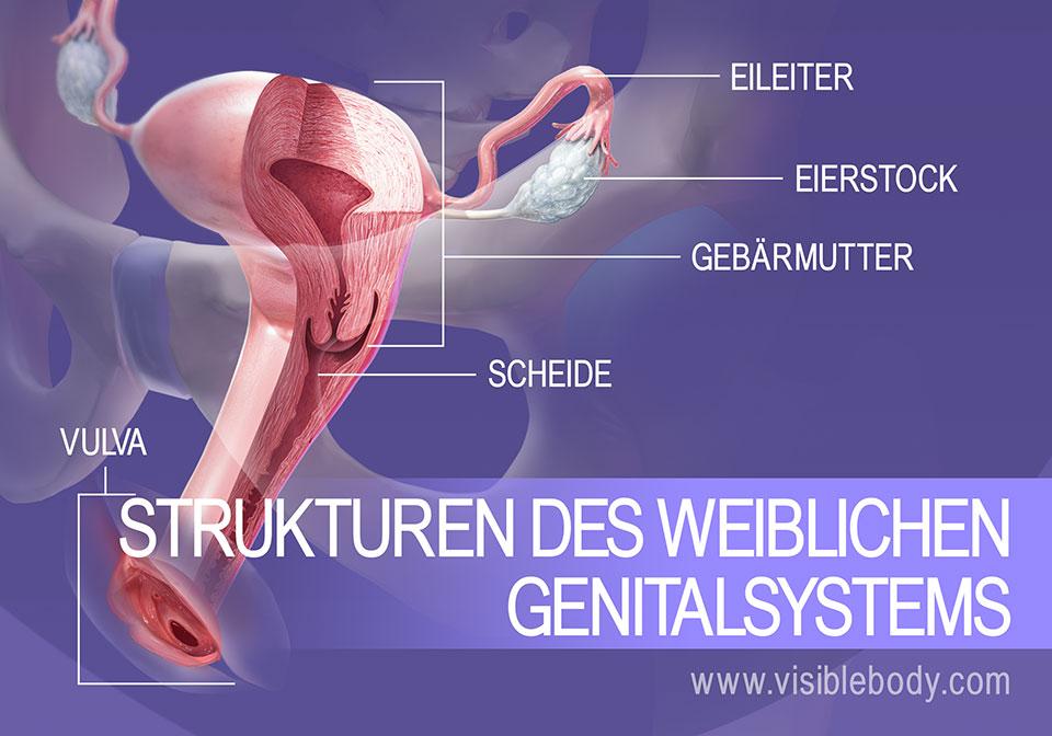 Überblick über die Strukturen des weiblichen Genitalsystems