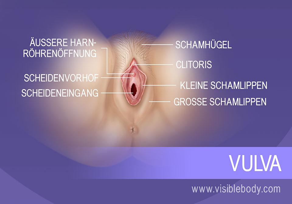 Die äußeren Anteile der Vulva