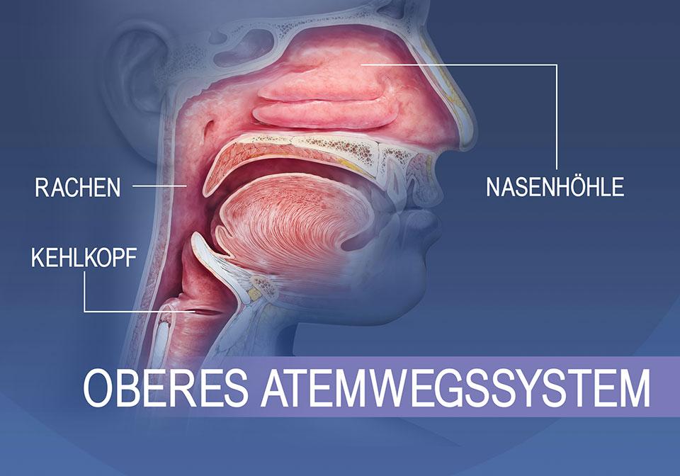 Überblick über die oberen Atemwege, Mundhöhle und Rachen