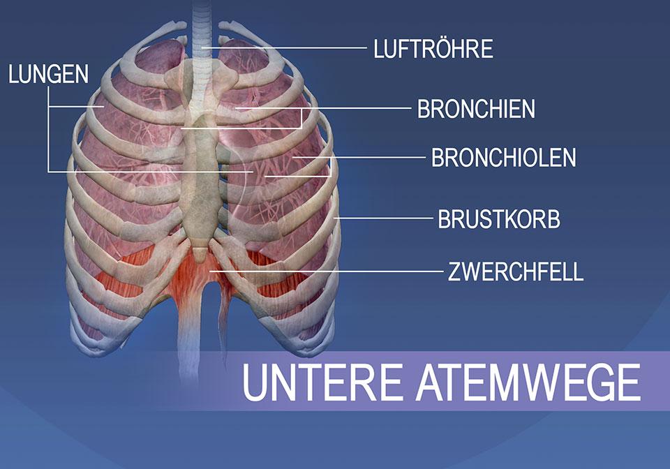Die Strukturen der unteren Atemwege umfassen die Luftröhre, Bronchien, Bronchiolen, Lungen, den Brustkorb und das Zwerchfell