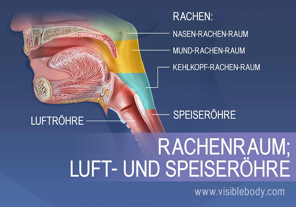Der Rachenraum unterteilt sich in den Nasenrachenraum (Nasopharynx), Mundrachenraum (Oropharynx) und den Kehlkopfrachenraum (Laryngo- oder Hypopharynx)