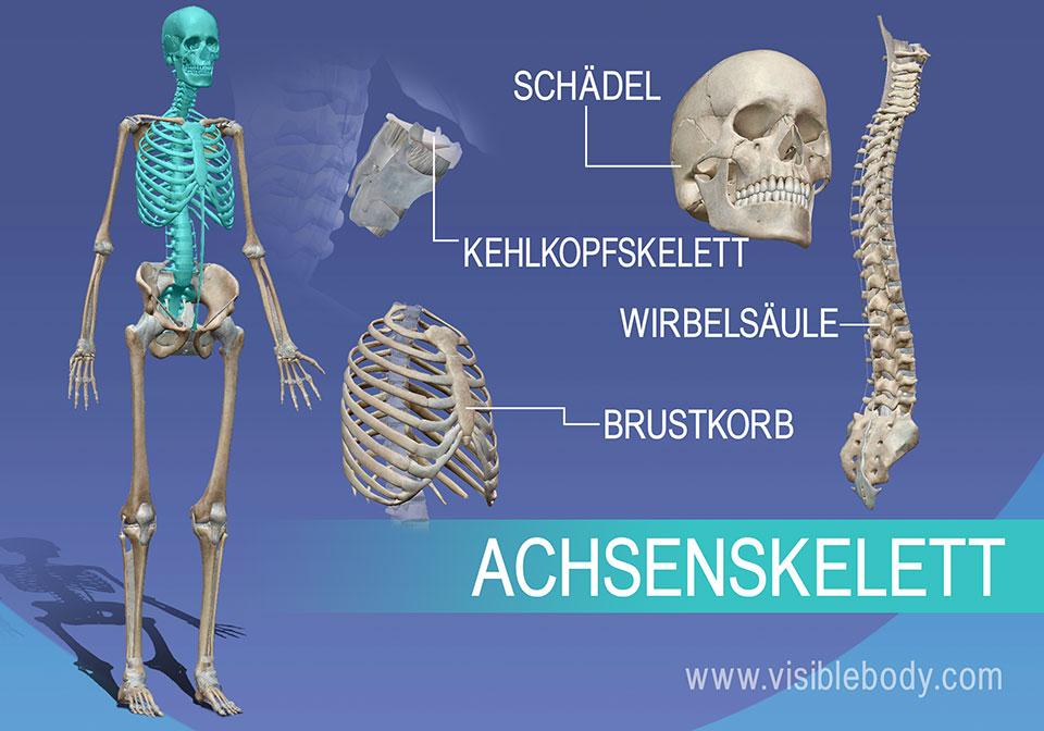 Das Achsenskelett umfasst die Knochen von Wirbelsäule, Brustkorb, Schädel und Kehlkopf