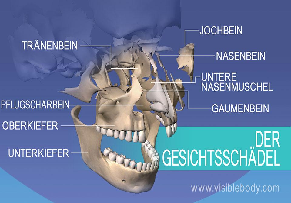 Gesichtsknochen: Tränenbein, Jochbein, Oberkiefer und Unterkiefer