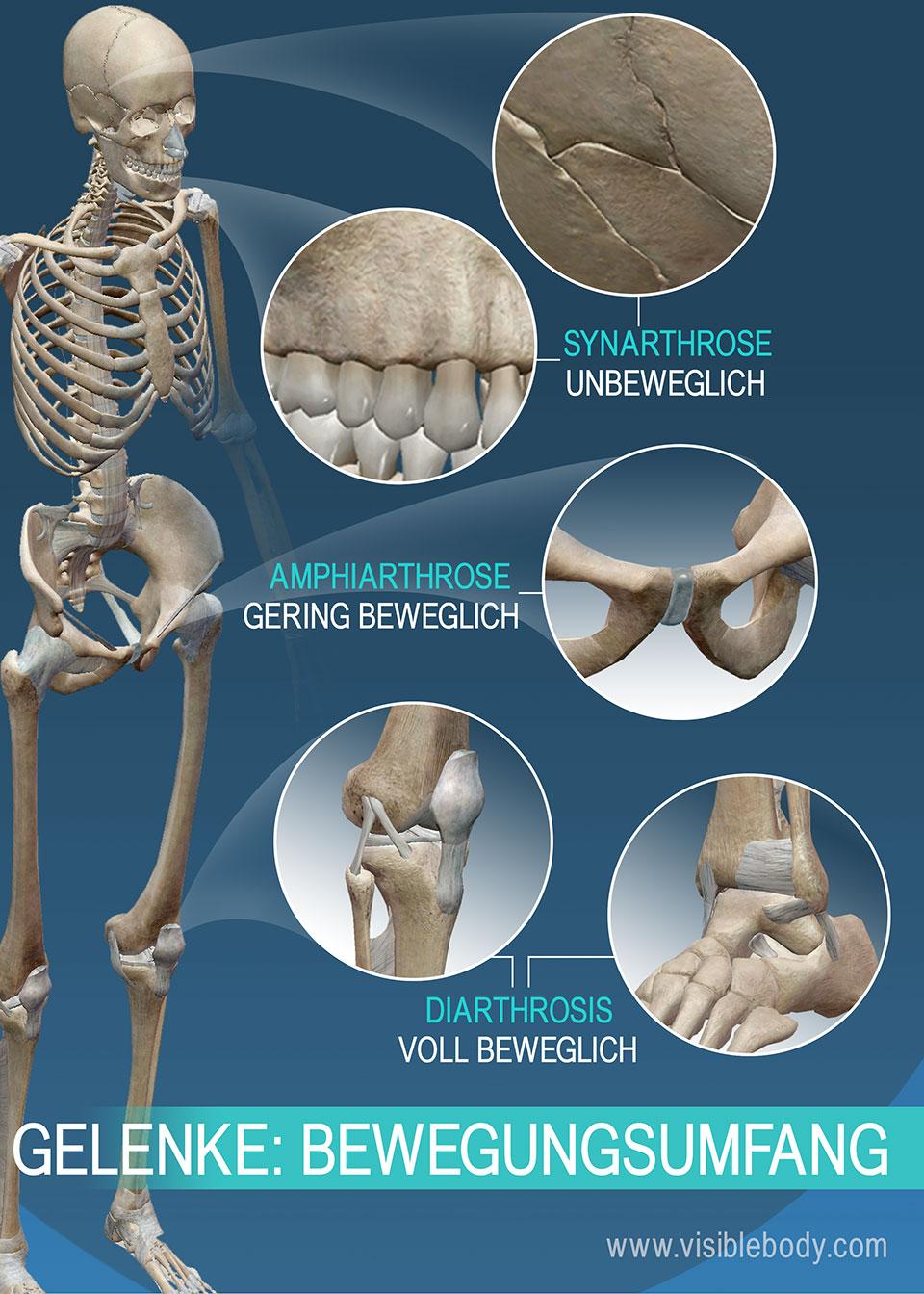 Gelenke lassen sich nach ihrer Beweglichkeit einteilen: Synarthrosen (unechte Gelenke), Amphiarthrosen (gering bewegliche Gelenke), Diarthrosen (echte Gelenke