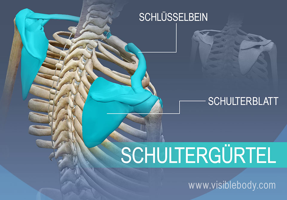 Knochen des Schultergürtels