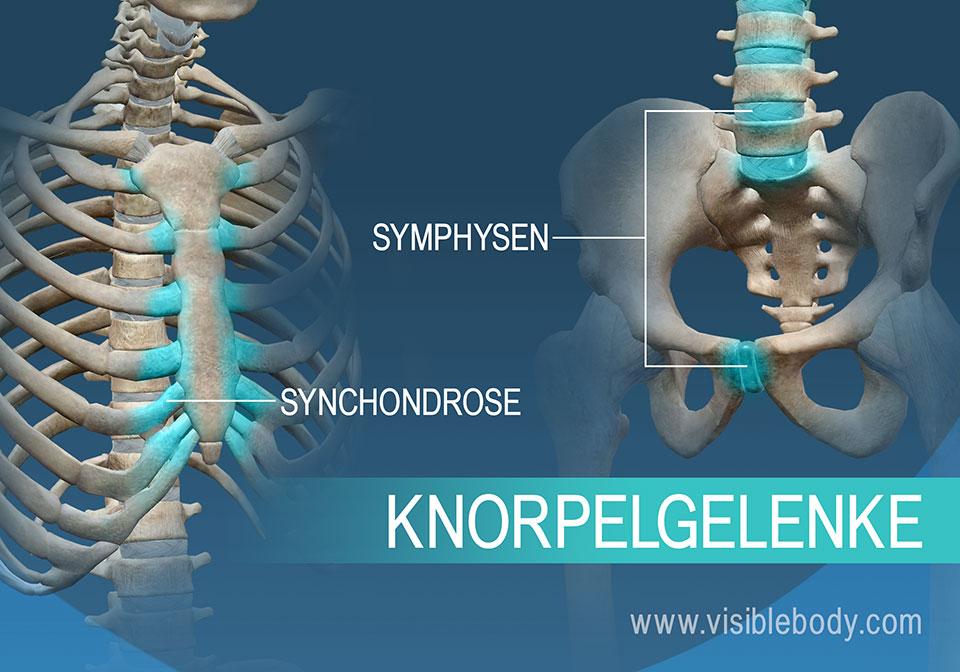 Synchondrosen und Symphysen sind zwei Arten von Knorpelgelenken