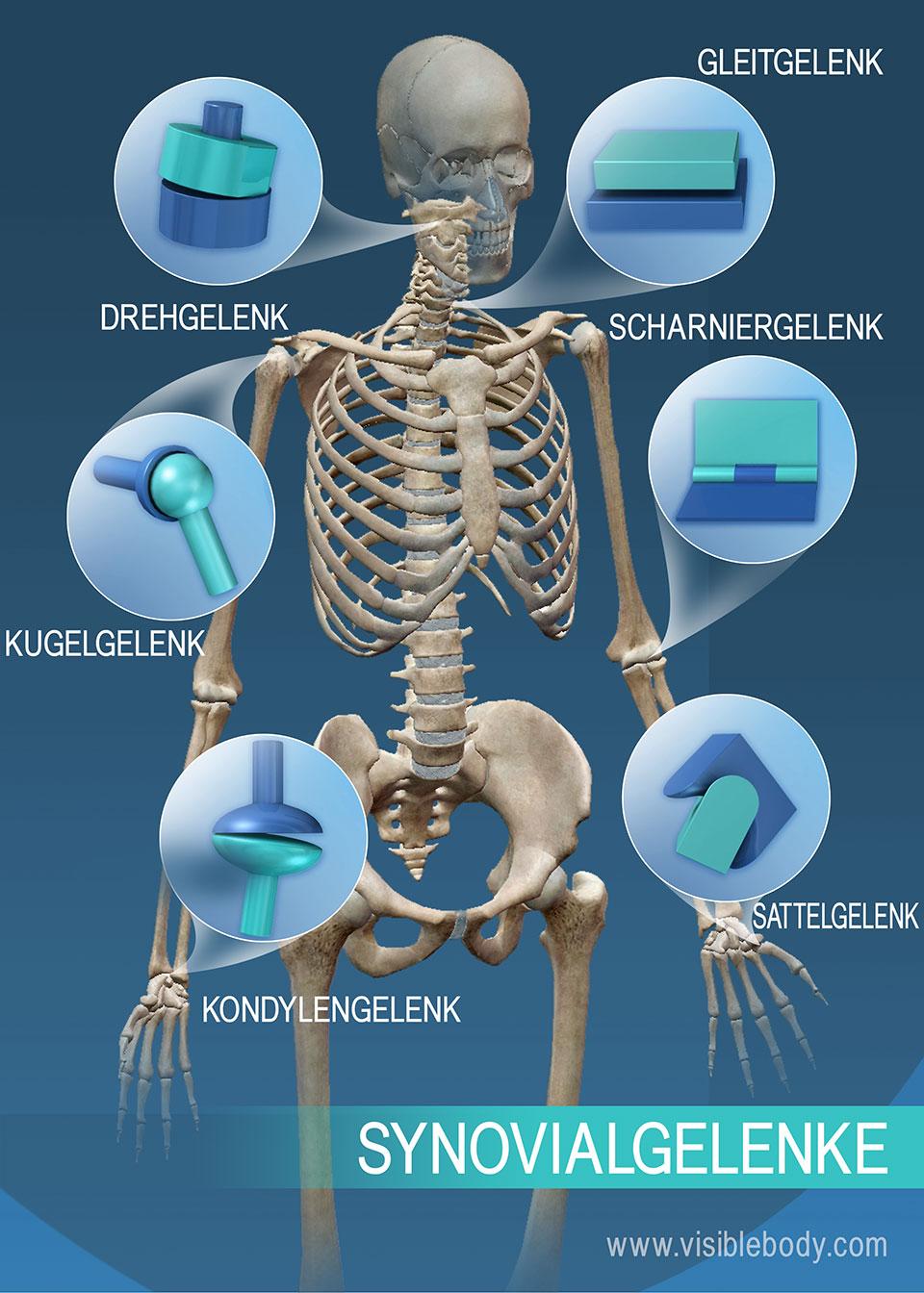 Mediendatenbank Biologie Gelenkformen