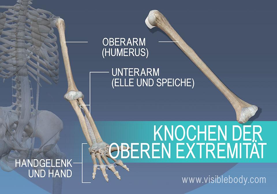 Oberarmknochen (Humerus), Speiche (Radius), Elle (Ulna) und die Knochen des Handgelenks und der Hand